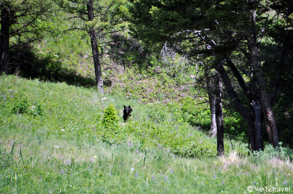 bear-on-trail-yellowstone