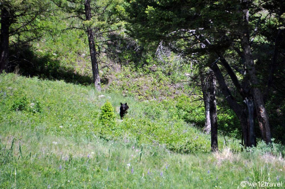 bear-on-trail-yellowstone