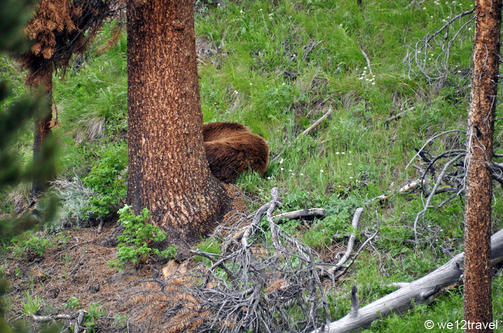 grizzly-yellowstone