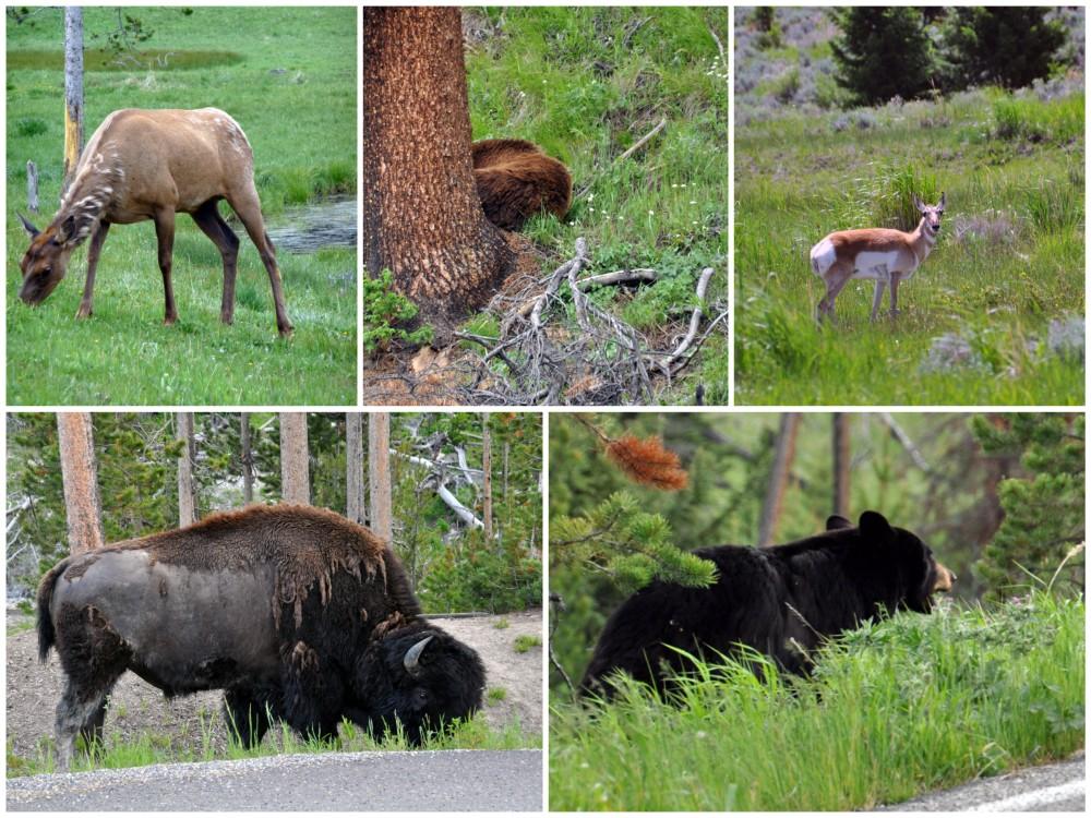 wildlife yellowstone national park