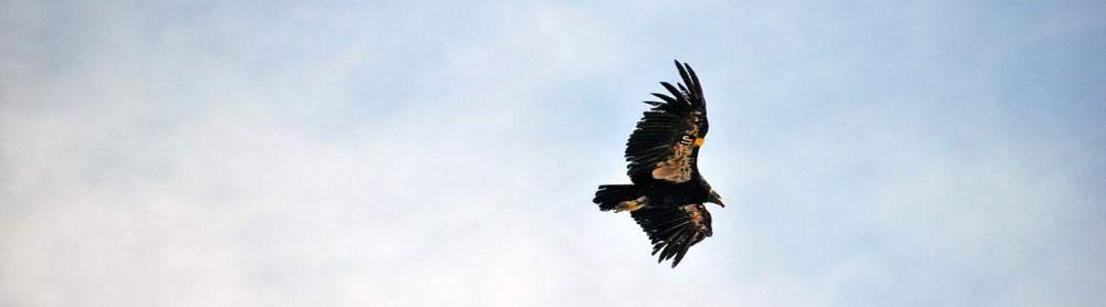 condor at the grand canyon