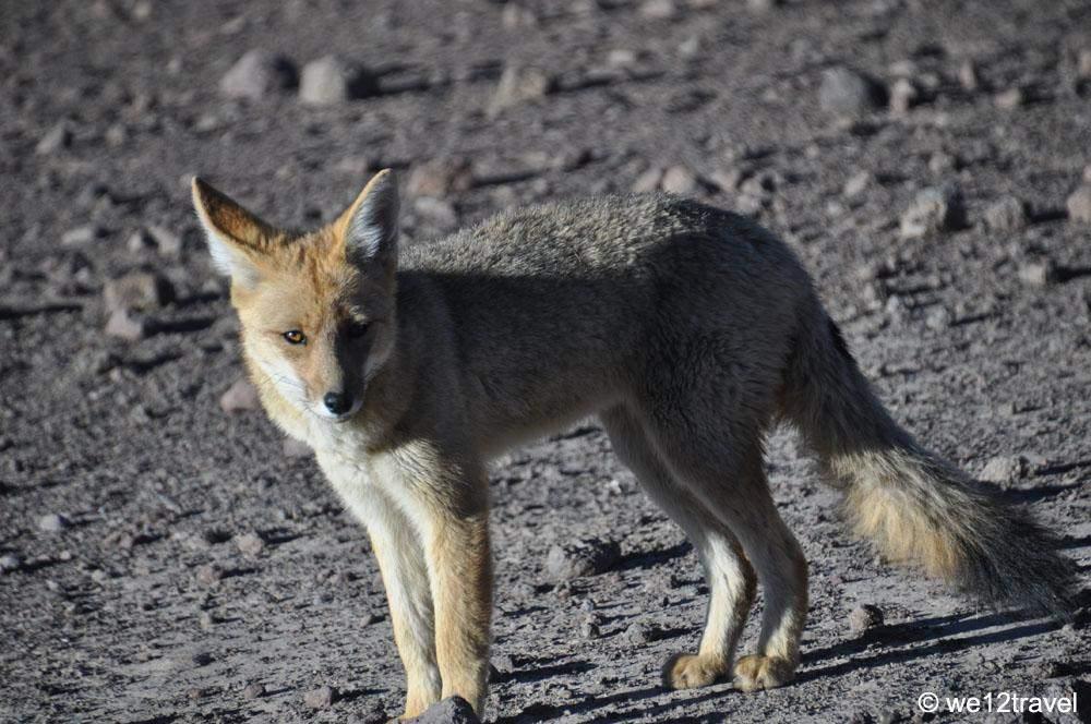 fox-tatio-chile
