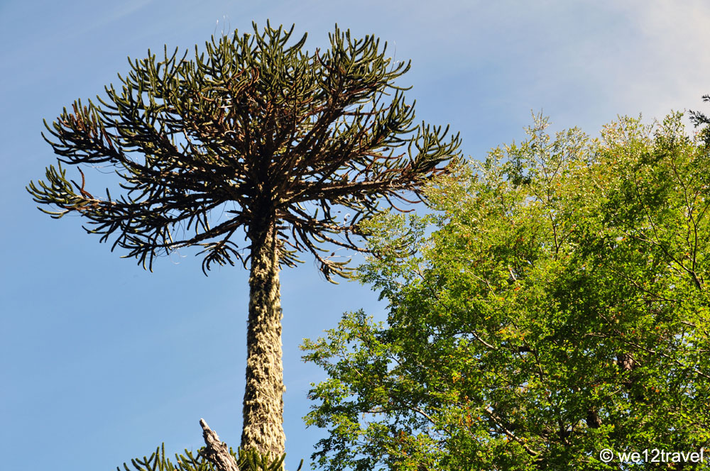 aurancania-tree