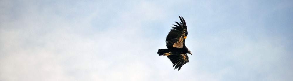 condor in de grand canyon