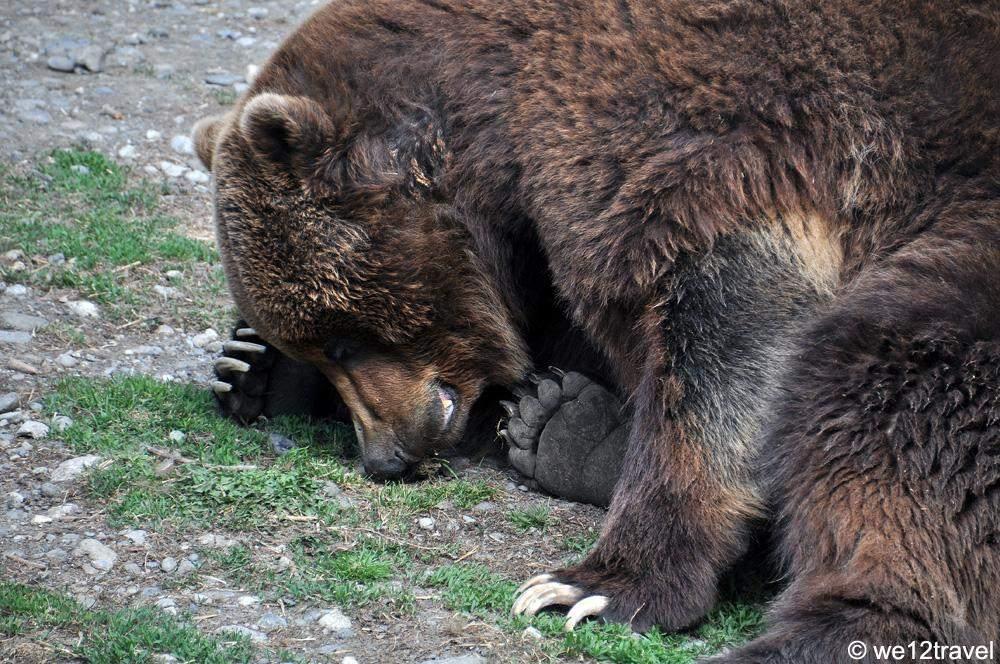 alaska-zoo-brown-bear