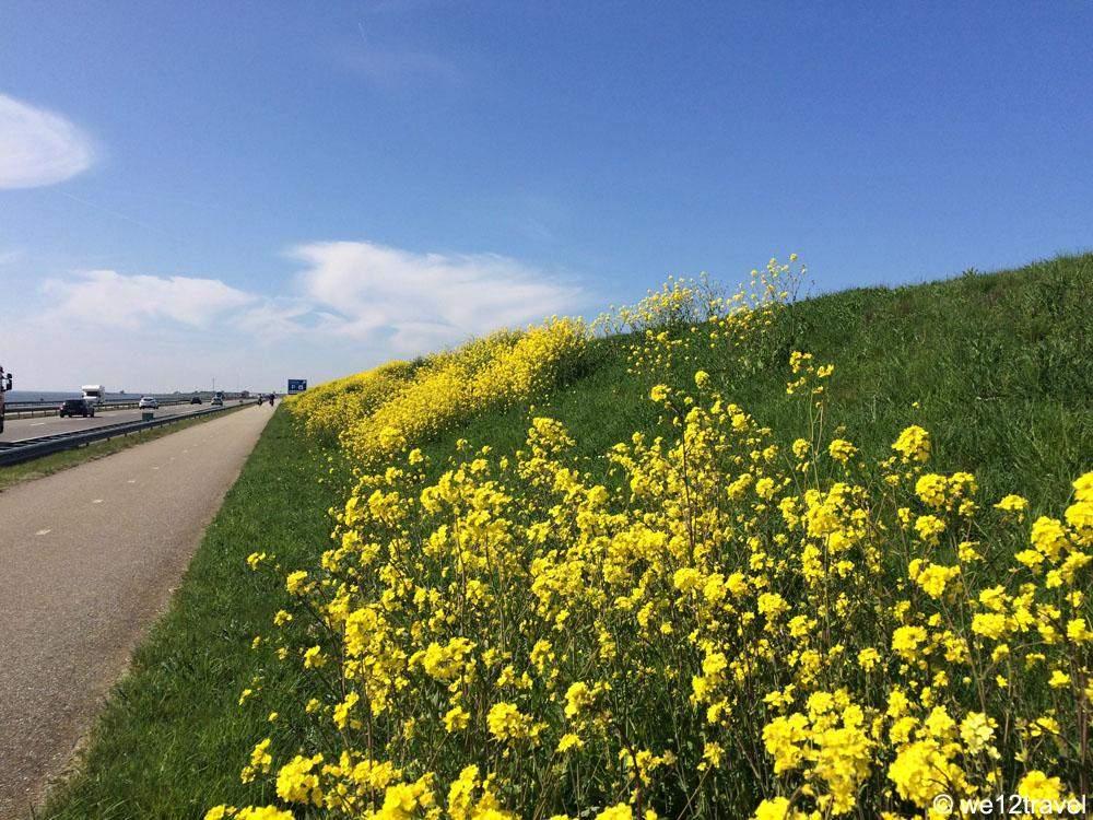 afsluitdijk-gele-bloemen