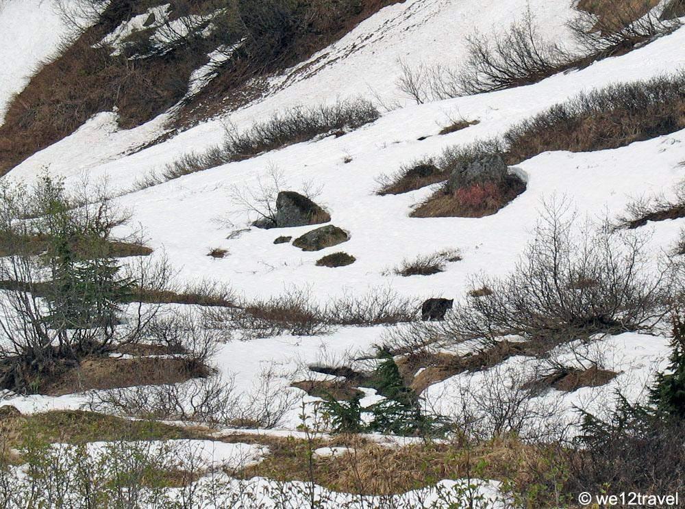 harding-icefield-trail-black-bear