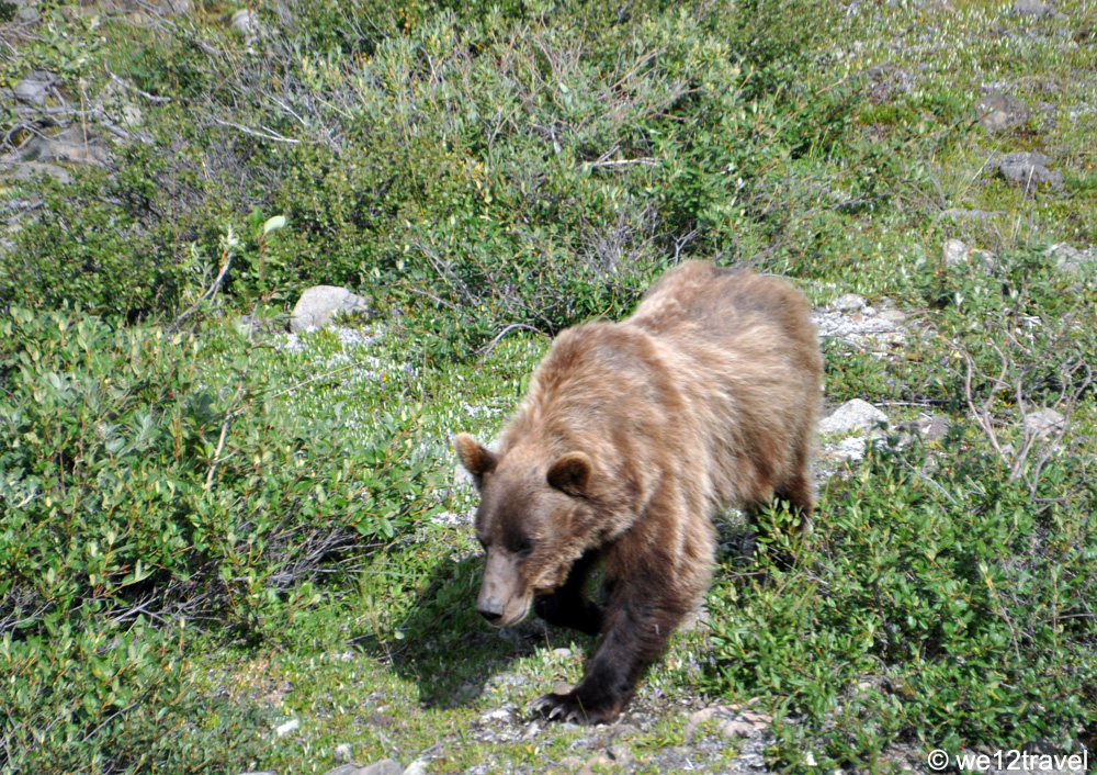 grizzly-in-denali-2