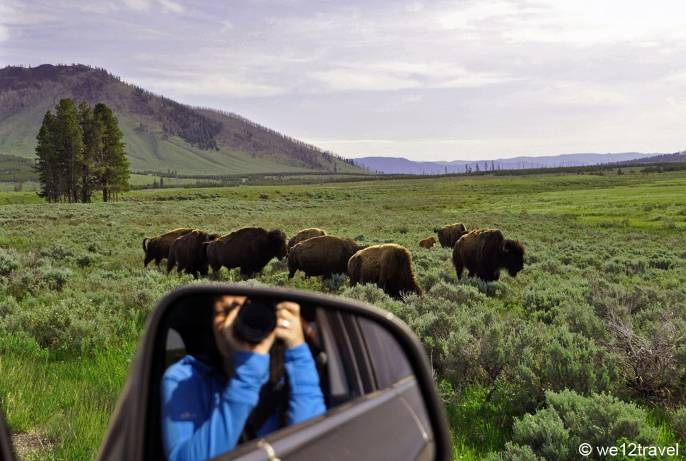 bisons-yellowstone