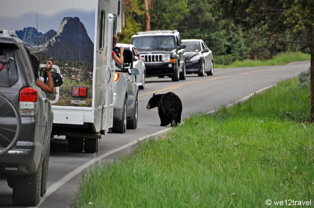 black-bear-yellowstone