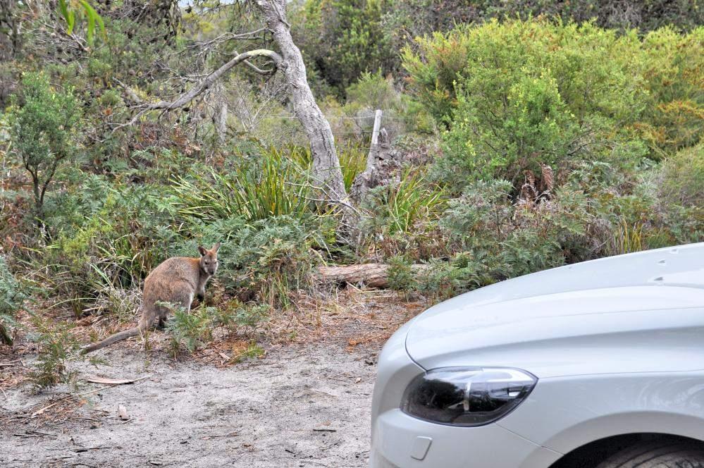 kangaroo-volvo