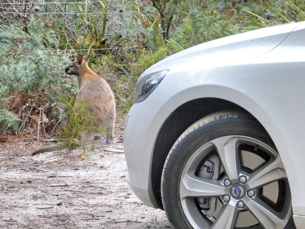 wallaby-mt-william-np