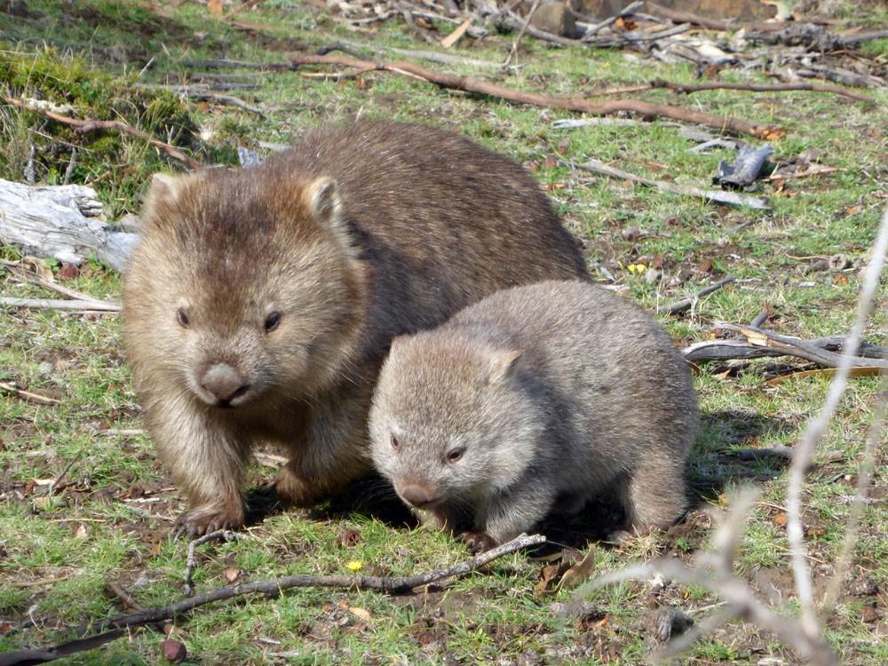 wombat biking in tasmania