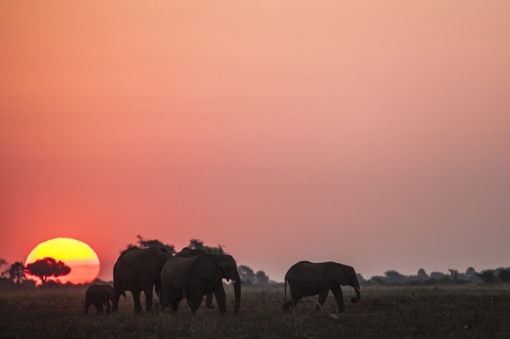 Elephants walking through the sun set