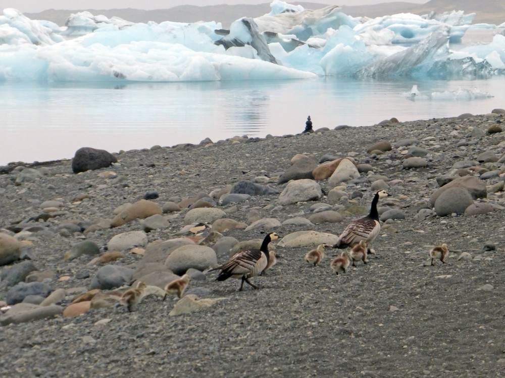 jokulsarlon-ducks-iceland