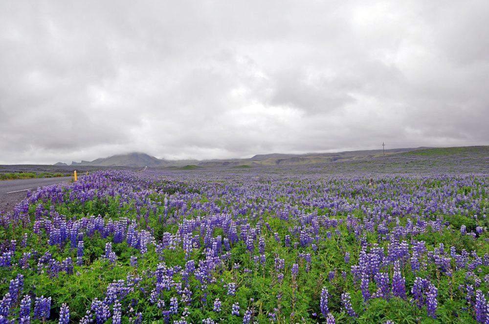 ijsland-bloemen