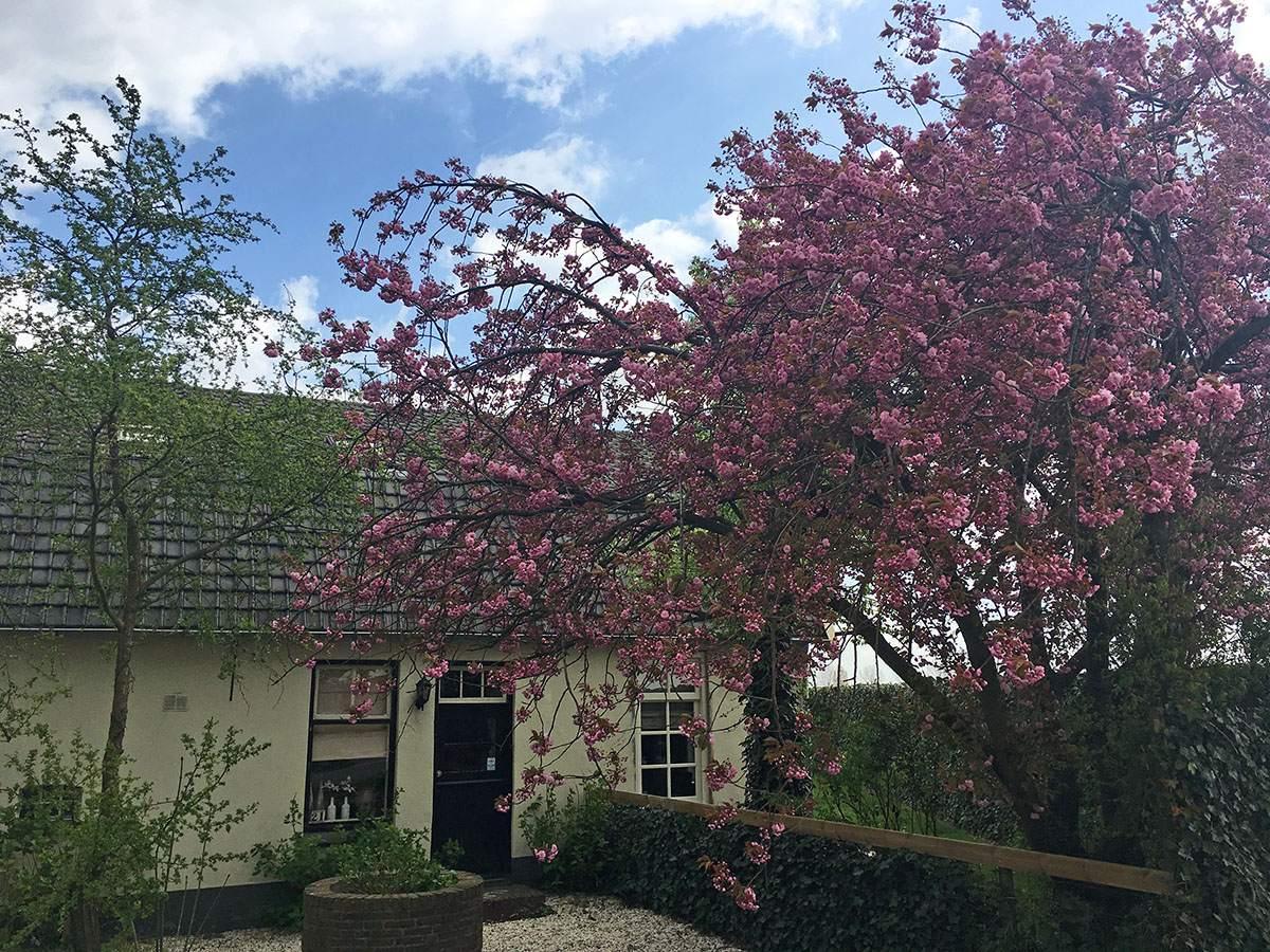 bloesemtocht in de betuwe bloesemtocht buren