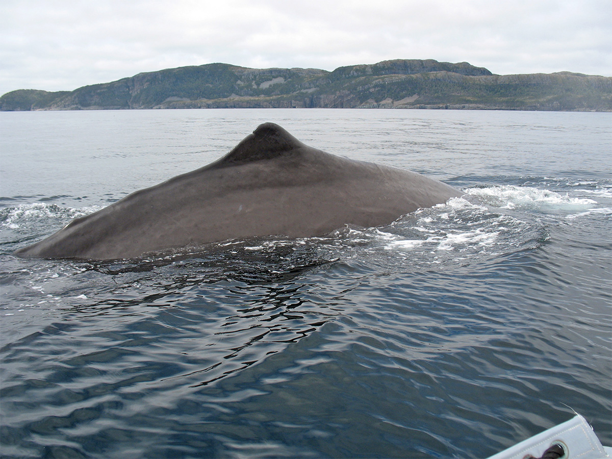 walvissen in newfoundland