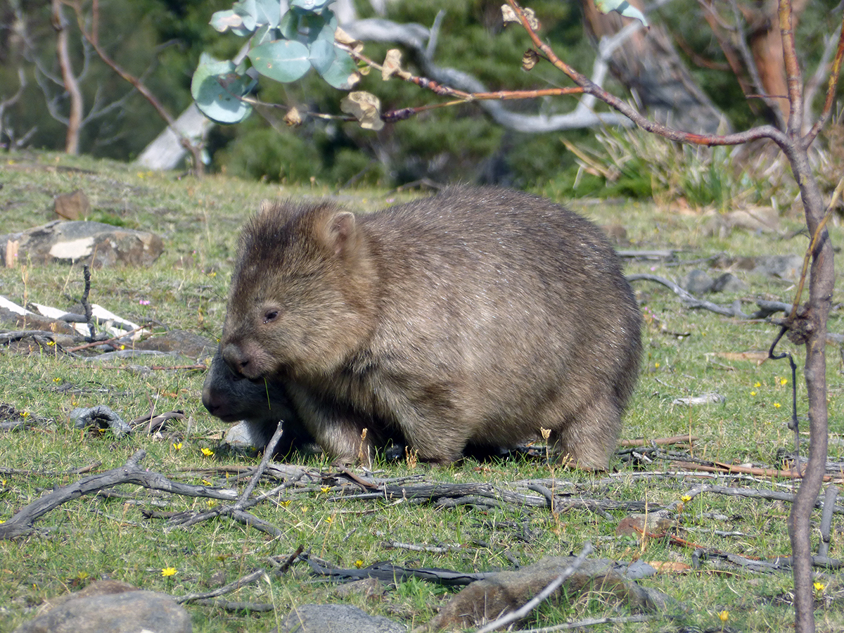 wombats on maria island tasmania