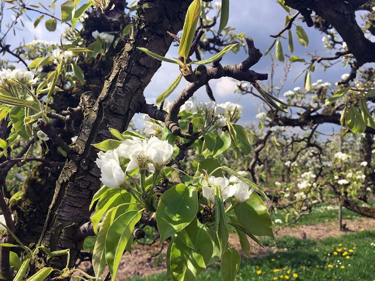 beste wandelgebieden voor dit voorjaar bloesemtocht in de betuwe bloesemtocht in buren