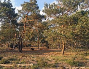 Wildlife in Hoge Veluwe National Park