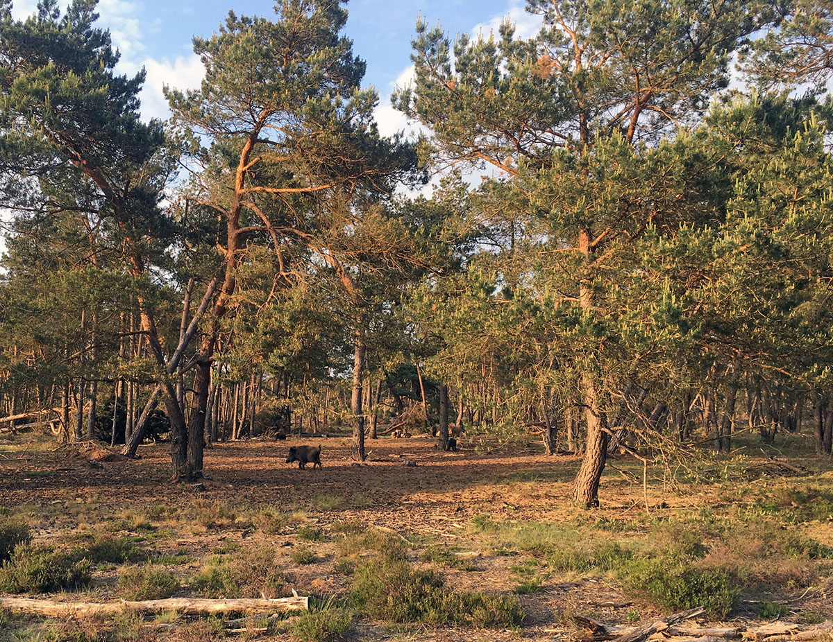 wildlife in hoge veluwe national park