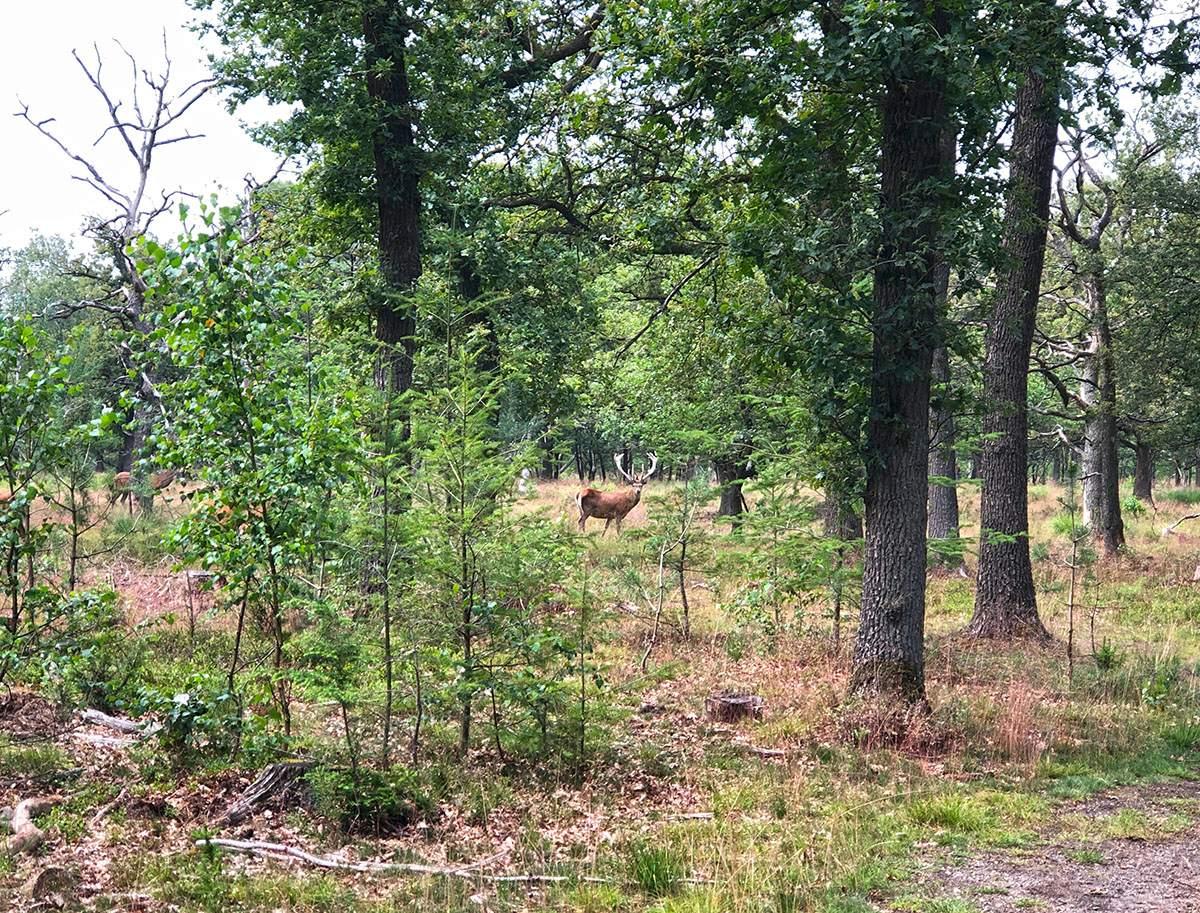 red deer in hoge veluwe