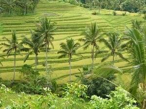 Vijftig tinten groen bij de Jatiluwih rijstvelden op Bali