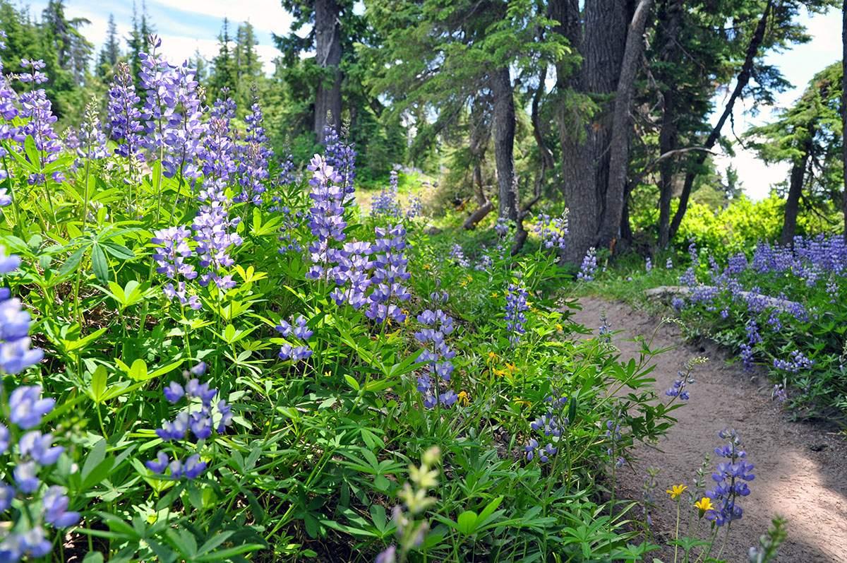Pacific Crest Trail Mt Hood
