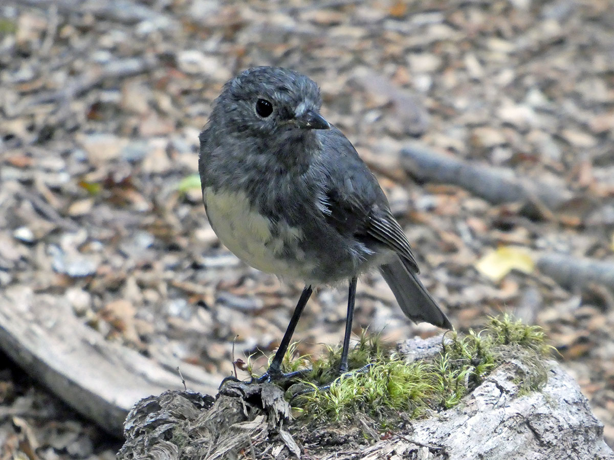 Bird on the Greenstone Caples Track