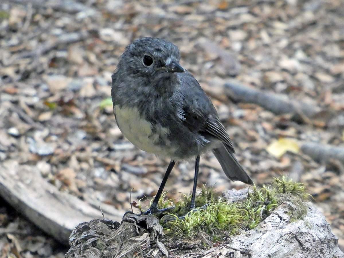 Bird on the Greenstone Caples Track