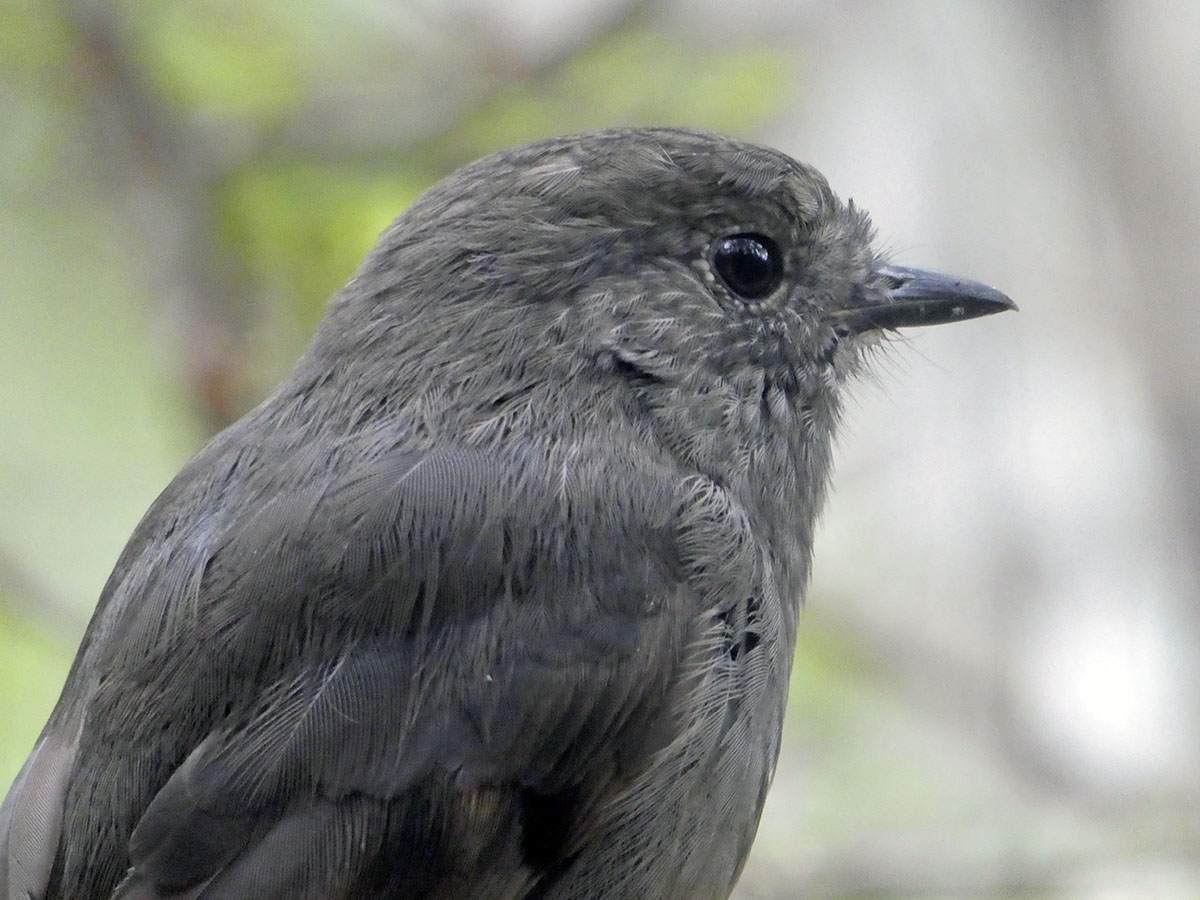 Bird on the Greenstone Track