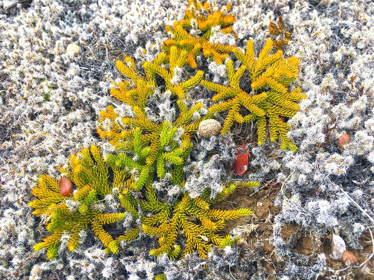 Greenstone Caples Flora