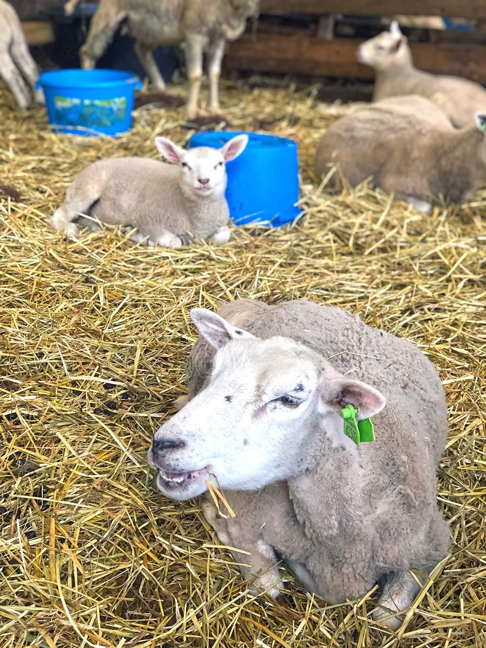 schapen in Utrecht