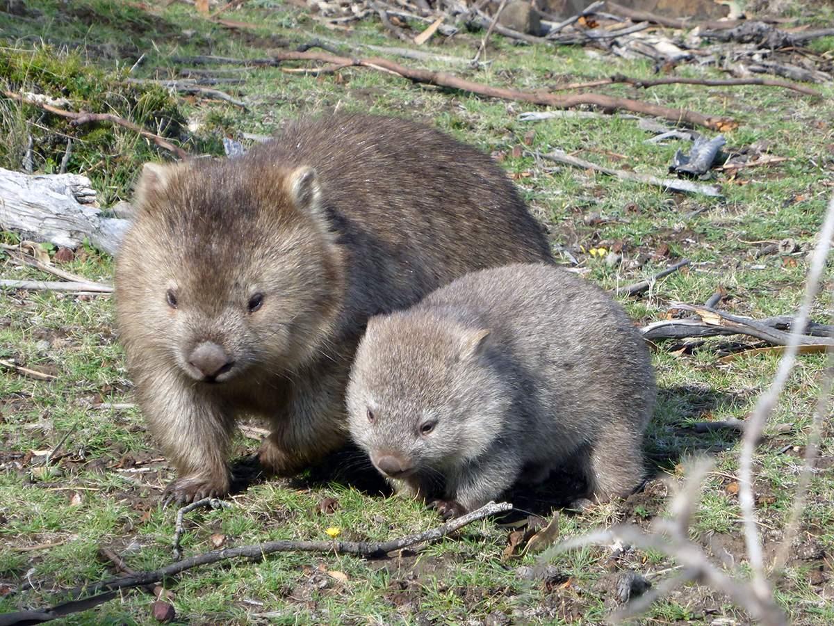 wildlife on the overland track in tasmania