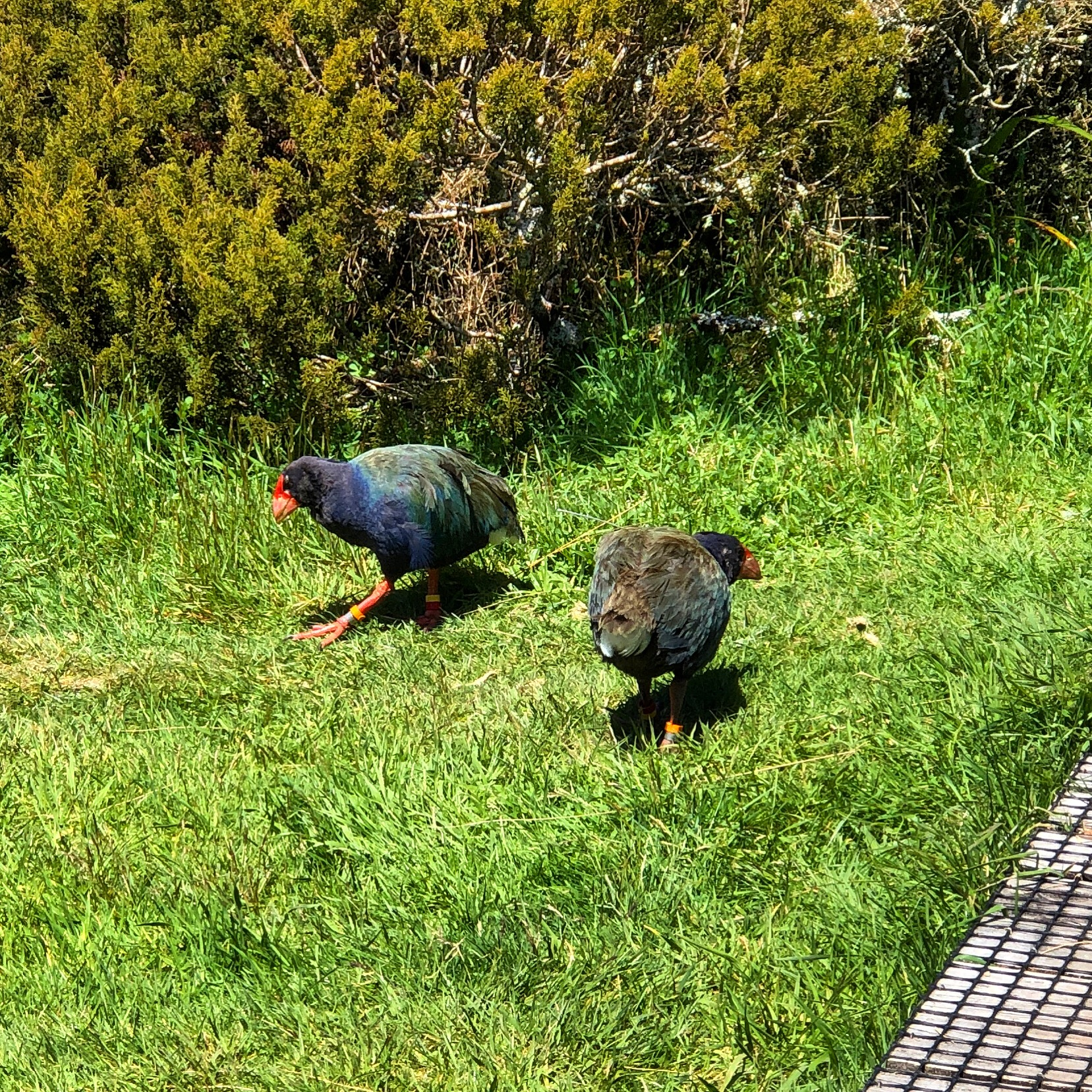 Takahe on the Heaphy Track