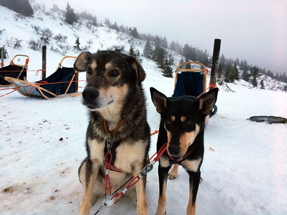 Huskies in winters Finland