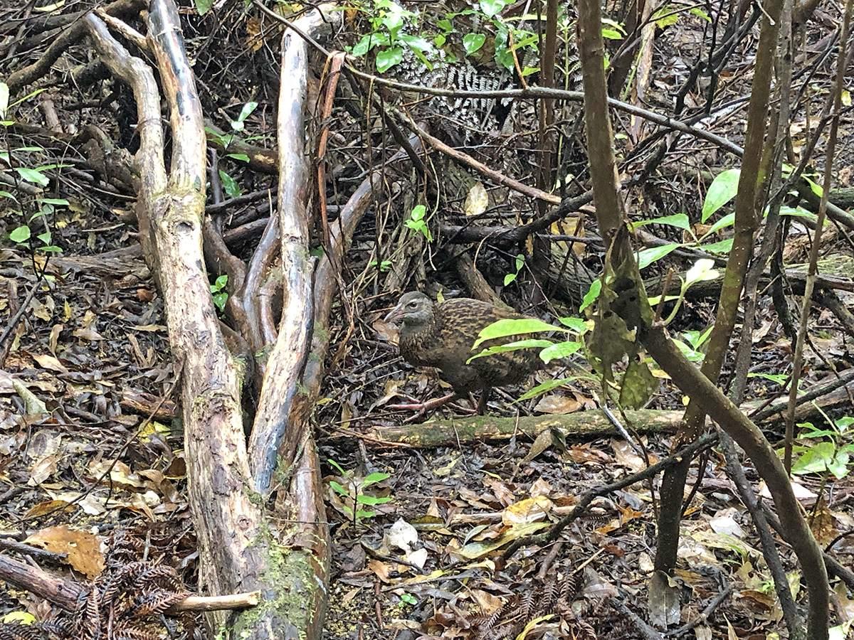 een weka in de bush