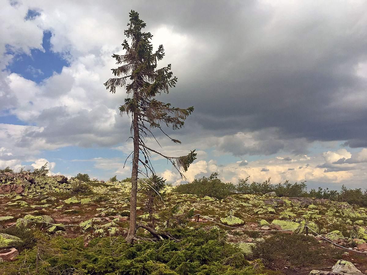 Old Tjikko de oudste boom ter wereld