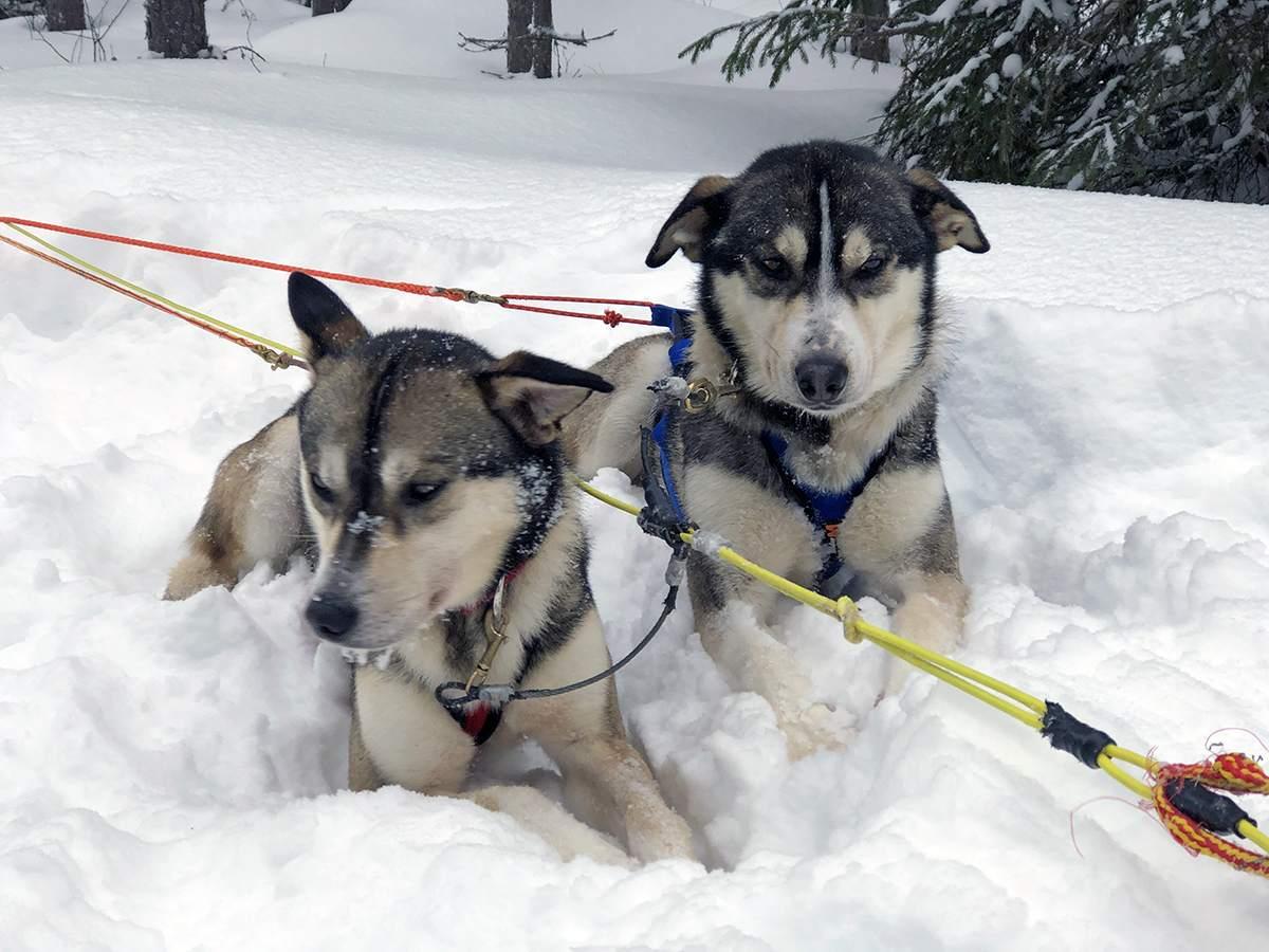 huskies in de sneeuw