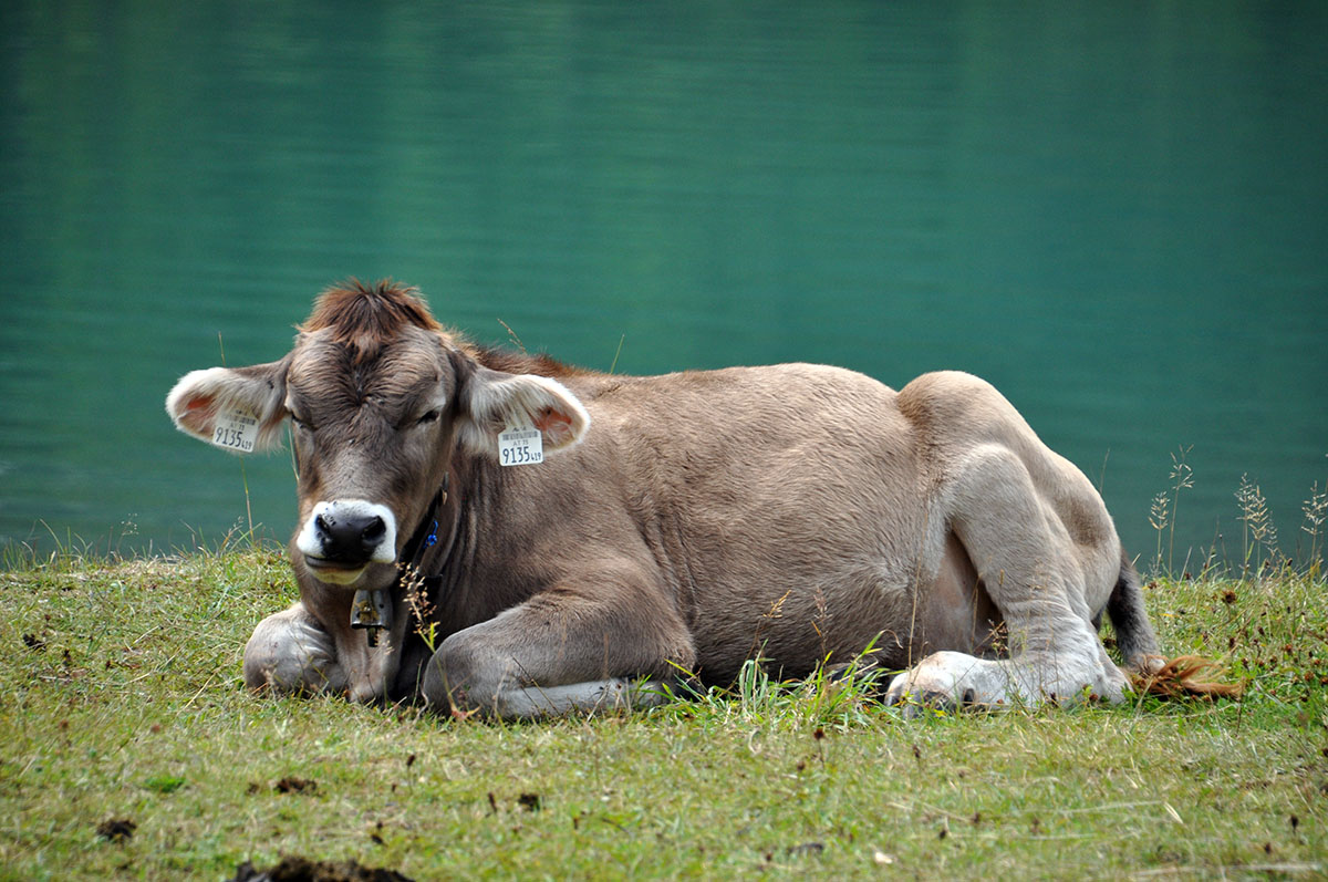 Een koe bij de Heiterwanger See