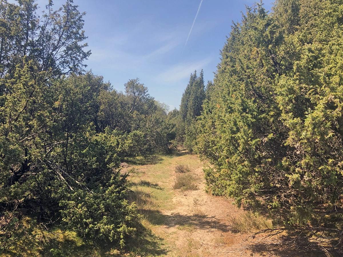 Het Jeneverbessenbos in de Hoge Veluwe