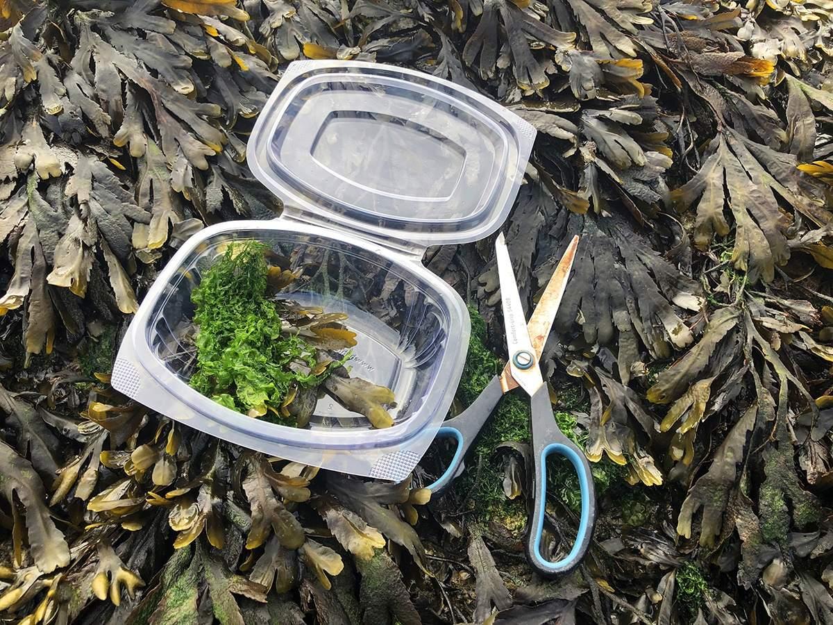 Picking seaweed in Oosterschelde National Park