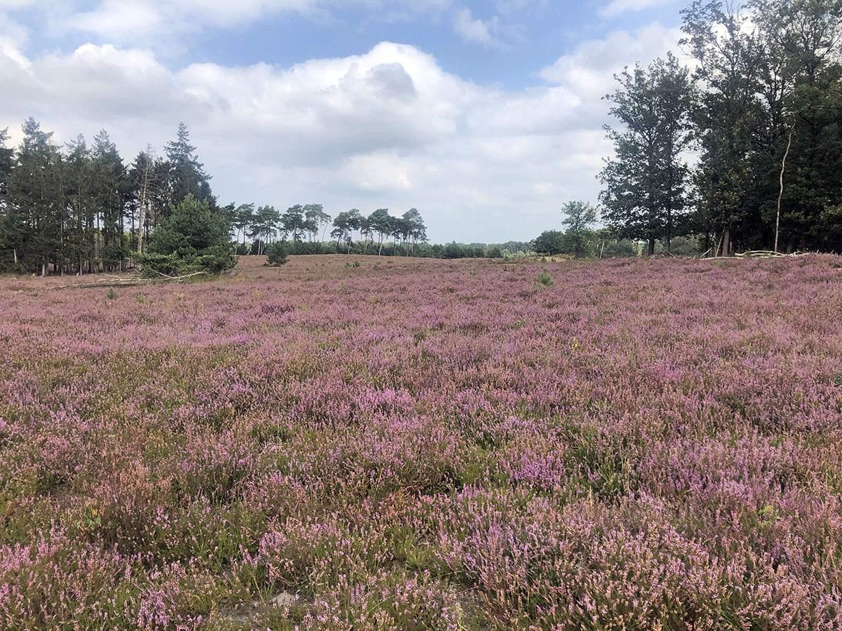 Bloeiende heide Kampina in Van Gogh Nationaal Park
