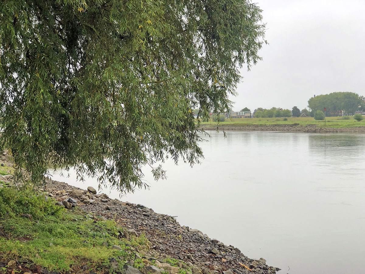 Wilg langs de IJssel